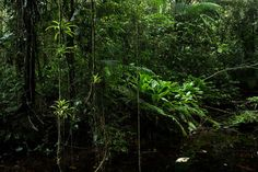 For Sale on - Tropical Rainforest, Sao Miguel Arcanjo, Brazil, Color Print, Archival Pigment Print by Araquém Alcântara. Offered by CHROMA+Gallery. Color Photography, White Photography, Landscape Photography, Nature Photography, Araquem Alcantara, Sao Paulo Brazil, Amazon Rainforest, Tropical, World View