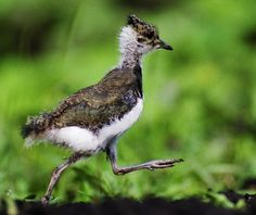 Fledgling roadrunner's first run Greater Roadrunner, Country Critters, State Birds, Desert Art, Road Runner, Animals Of The World, Cute Baby Animals, Bird Feathers, Beautiful Birds