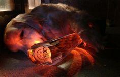Blind golden retriever Ray Charles sleeps with his Orange Room Award--- :)