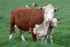 This is a red Hereford cow and calf. Cattle Farming, Livestock, Farm Animals, Animals And Pets, Low Maintenance Dog Breeds, Hereford Cattle, Raising Cattle, Bull Cow, Show Cattle