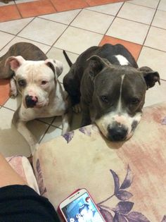 Blue and bully pit