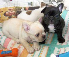 Bat and Egg, French Bulldog Puppies, photo by Patrick Stevenson.