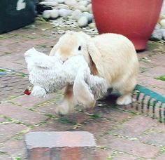 Destiny--this bunny took Mimzy! My bunny jake (who sadly died recently, but was old) used to like to carry stuff around too. Funny Bunnies, Baby Bunnies, Cute Bunny, Bunny Rabbits, Hamsters, Rodents, Animals And Pets, Baby Animals, Funny Animals