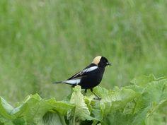http://faaxaal.forumgratuit.ca/t2492-photo-d-oiseau-d-amerique-goglu-des-pres-goglu-commun-dolichonyx-oryzivorus-bobolink