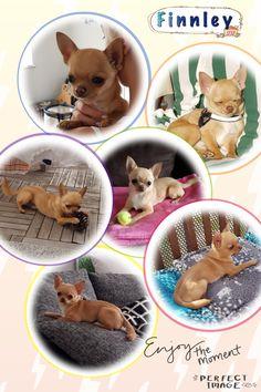 Chihuahua, Dog Food Recipes, Ice, Pets, Dog Recipes, Ice Cream, Chihuahua Dogs, Chihuahuas, Animals And Pets