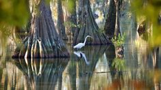 A white egret stands in the Cypress Island Swamp in Louisiana. The island is populated by thousands of birds and is located between Breaux Bridge and Lafayette. (Flickr/jc.winkler)