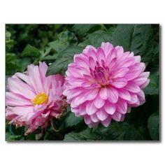 Beautiful pink flowers Postcard #postcard #flower #flowers #pink #gift