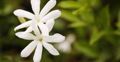 Night-blooming jasmine, also known as Cestrum nocturnum or night jessamine, is a woody, evergreen shrub that is prized for its highly fragrant, white, trumpet-shaped flowers ...