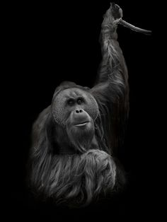 just me by Jany on 500px, Orang Utan