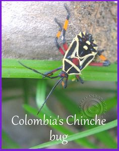 A bug in Colombia that looks like it was painted
