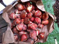Tulip Bulbs, Garden Art, Stuffed Mushrooms, Vegetables, Food, Stuff Mushrooms, Essen, Vegetable Recipes, Meals