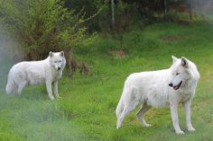 Photos by Scott Weaver. Taken at Wolf Haven International, Tenino Washington, on a photo tour. Photo # - 122 | Flickr - Photo Sharing!