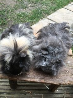 2 Stunning Male baby guinea pigs. | Wokingham, Berkshire | Pets4Homes