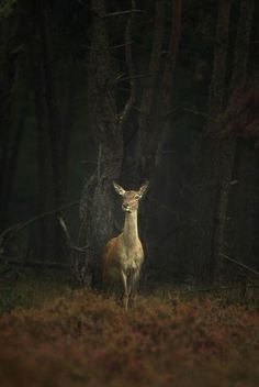 Deer in the woods at night Forest Animals, Nature Animals, Animals And Pets, Cute Animals, Beautiful Creatures, Animals Beautiful, Nature Sauvage, Deer Family, All Nature