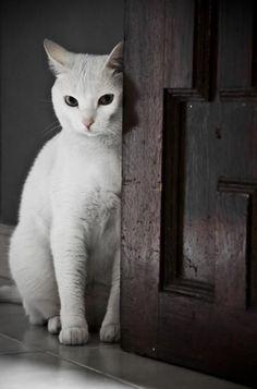 White cat behind wooden door
