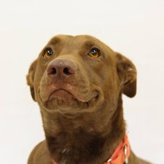 2015 Who could resist this cute smile?  Avalon is a 2 year old Labrador mix.  She loves belly rubs and thinks she is very much a lap dog despite her 50lb size.