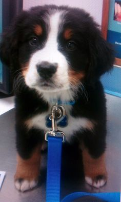 Bernese mountain dog too cute. I just wish they would stay this size forever. One big dog is enough.