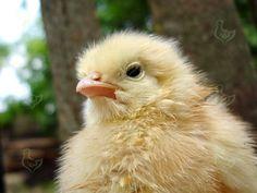 Не всегда курица хочет высиживать цыплят и некоторые птицеводы не знают как её заставить высиживать. Так же, многие не знают как ухаживать за курицей наседкой во время высиживания. http://kurinyjdom.ru/razmnozhenie-kurits/osobennosti-vyrashchivaniya-tsyplyat-s-nasedkoj.html