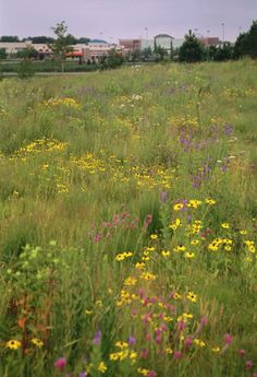 State Farm HQ Prairie Restoration Project.  Mature mesic prairie with Black-eyed Susan, Purple prairie clover