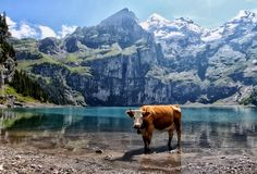 This is such the quintessential Swiss picture. Cow, glacier water and mountains. Love it.