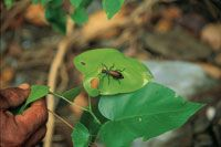 Los cucarrones de follaje son coleópteros que consumen hojas jóvenes de plantas del sotobosque.