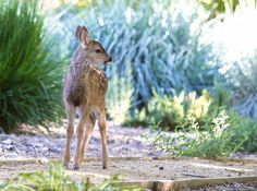California mule deer fawn