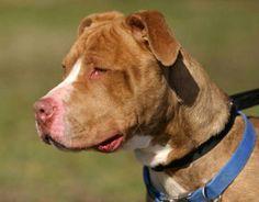 Dutch is an adoptable Mastiff Dog in Cranford, NJ. Dutch Is a handsome Mastiff/Terrier mix. He is super smart