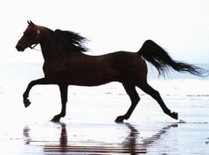 My family has always owned Tennessee Walkers.  Their gait will spoil you!  Here is a Beautiful, Tennessee Walker