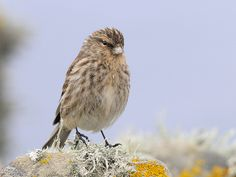 Twite on the lookout for nest material Nest, Birds, Wall, Animals, Yellow, Nest Box, Animales, Animaux, Bird