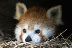 red panda sweetheart.  dipity.com