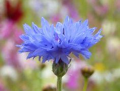 bleuet_cornflowers_1_cut.jpg (851×651)