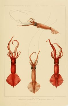 Bd. 18,T.1 (Atlas) - Die Cephalopoden, - Biodiversity Heritage Library