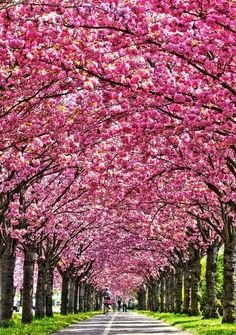 travel all the way to Japan just to see these beautiful cherry blossom trees.would travel all the way to Japan just to see these beautiful cherry blossom trees. Cherry Blossom Tree, Blossom Trees, Cherry Tree, Japanese Cherry Blossoms, Japanese Blossom, Beautiful World, Beautiful Places, Trees Beautiful, Tree Tunnel