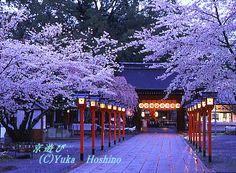 平野神社 京都の桜
