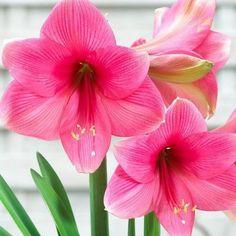 amarylis adele Adele, Plants, Flora, Plant
