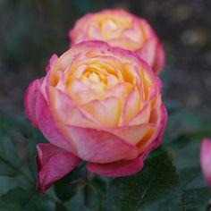 おはようございます! +813  『 #ベビーロマンチカ』#BabyRomantica  今日も充実した1日を!  まだ蕾ですね!オレンジに近い ピンク色の薔薇になります。 フランス メイアン 2003年作出 #岐阜畜産センター公園 にて  岐阜は晴 最高気温16℃  朝日が綺麗な朝ですね。  今日も笑顔と感謝忘れずに(^-^)  ご挨拶は夜になります。 今日も宜しくお願いします!  Good morning my friends! Have a nice day of today.  #instagar