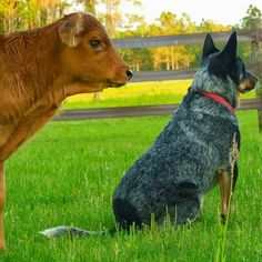 Tucker the calf & Jasper the Blue Heeler ~•♡•♡•~
