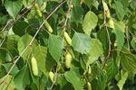 Birkenblätter Entschlackungs-/Entgiftungstee: Brennessel, Beifuß, Birkenblätter, Löwenzahn (frisch oder getrocknet)