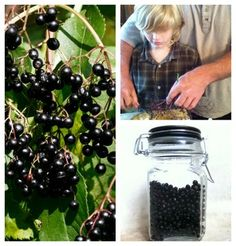 Harvesting wild elderberries