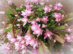 Images about christmas cactus on pinterest christmas cactus cactus