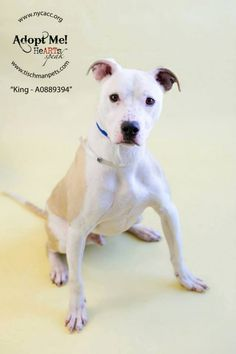 URGENT - Manhattan Center    KING - A0889394   *** SAFER: AVERAGE HOME *** RETURNED AS STRAY 01/08/14 ***   NEUTERED MALE, WHITE / TAN, PIT BULL MIX, 3 yrs  STRAY - ONHOLDHERE, HOLD FOR ID Reason STRAY   Intake condition NONE Intake Date 01/08/2014, From NY 11436, DueOut Date 01/16/2014 Previous thread: https://www.facebook.com/photo.php?fbid=739688136044068&set=a.617938651552351.1073741868.152876678058553&type=3&permPage=1