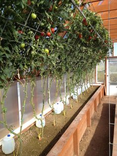 Growing Tomatoes Tips Do you trim all the lower leaves and or branches that touch the ground as the plant grows. I think so but wanted to be sure before I break out the pruning shears. This post was edited by on Tue, Jun 13 at Vertical Vegetable Gardens, Veg Garden, Garden Trellis, Edible Garden, Vegetable Gardening, Tomato Trellis, Tomato Cage, Greenhouse Gardening, Hydroponic Gardening