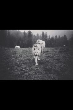 There are three wolves headed to Oregon, but their tour bus is broken down in Utah. The wolves are on an educational tour with Mission: Wolf, a non-profit, volunteer-run organization advocating for. Beautiful Creatures, Animals Beautiful, Cute Animals, Pretty Animals, Wild Animals, Pale Tumblr, Being As An Ocean, Wolf Life, She Wolf