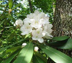 Using Georgia Native Plants: Great Laurel - Rhododendron maximum