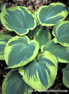 205 Best Garden Hosta Identification Images In 2018 Hosta Plants