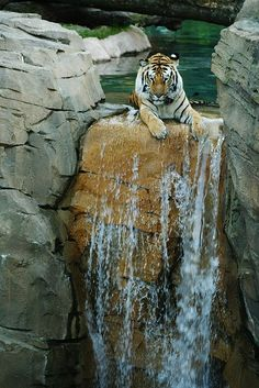 Tiger cools off in waterfall at Yorkshire Wildlife Park, England.
