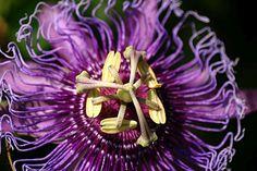 Passion Vine Plant