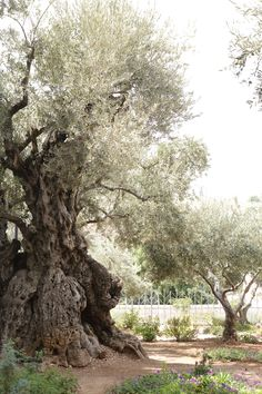 Old Olive Tree in The Garden of Gethsemane, Israel