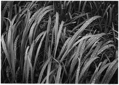 Grass, Glacier Bay National Monument, Alaskahttp://www.metmuseum.org/collection/the-collection-online/search/262571?rpp=90&pg=15&rndkey=20150224&ao=on&ft=*&when=A.D.+1900-present&where=United+States&what=Photographs&pos=1329