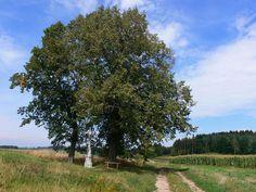 Muzeum České Sibiře, Arnoštovice, památný strom, lípa malolistá Country Roads, Pictures